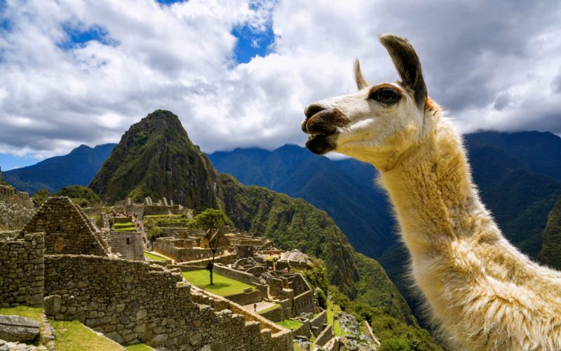 Llama at Machu Pichu looking left Llama Facts