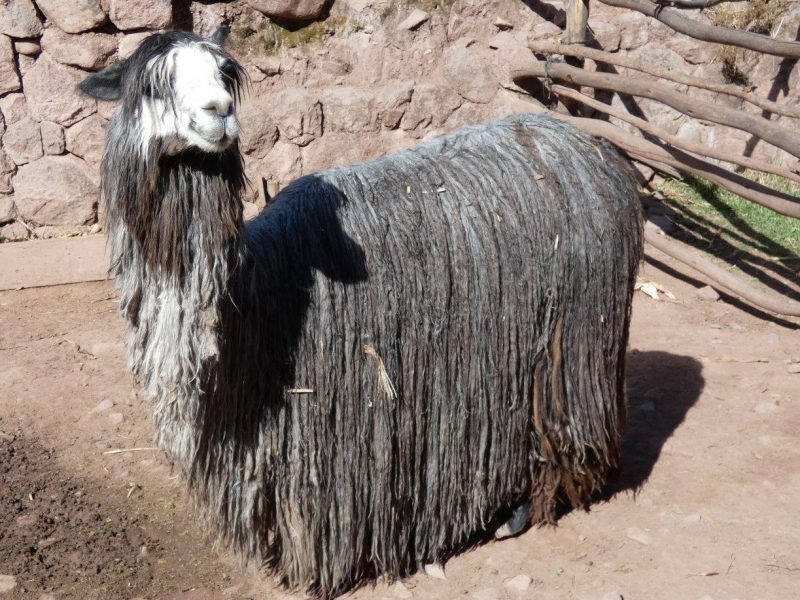 Shaggy llama grey on ground