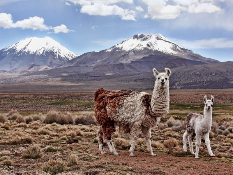 Mother and baby Llama together on plain