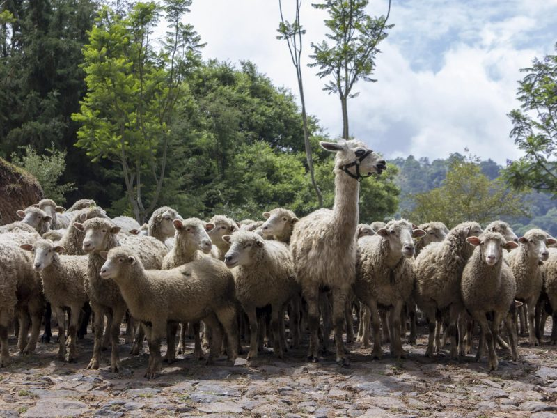 Llama standing with a flock of sheep protecting them